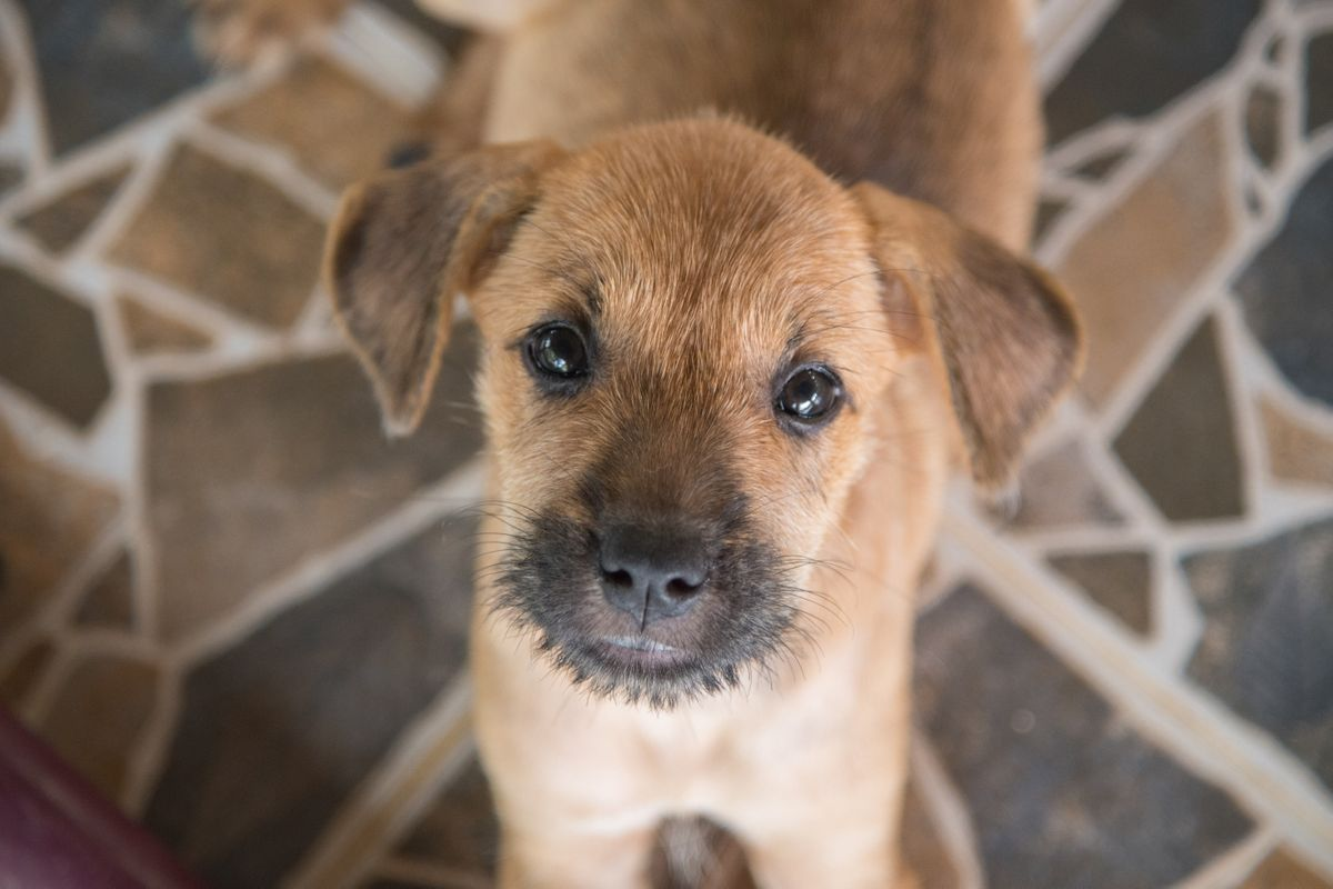 Soi Dog Foundation - Puppy